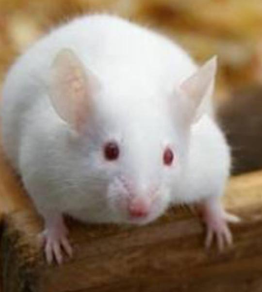 違い マウス ラット